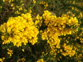 Gorse or Furze in Public Domain