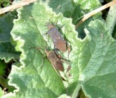 Leaf-footed Plant Bugs