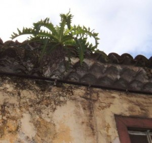 Sonchus plant growing on a roof